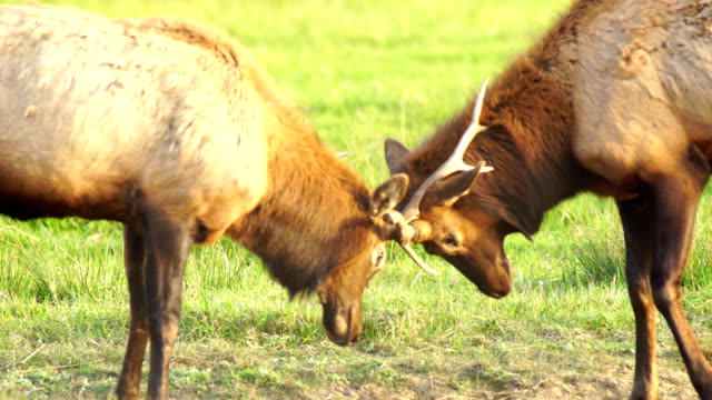 two male bull elk sparring testing big game animal wildlife - lottare video stock e b–roll