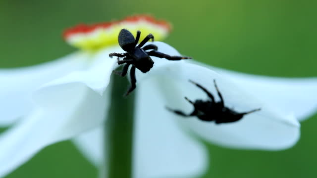 Two male jumping spiders meeting each other on daffodil flower video