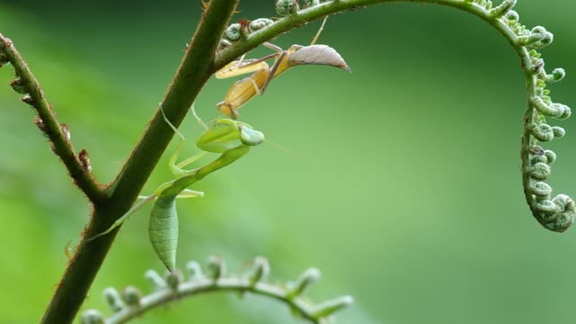 two mantis on fern shoot