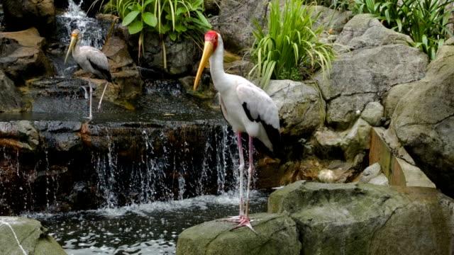 Two marabu at rock waterfall video