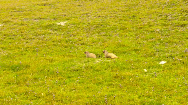 Two marmots on the grass