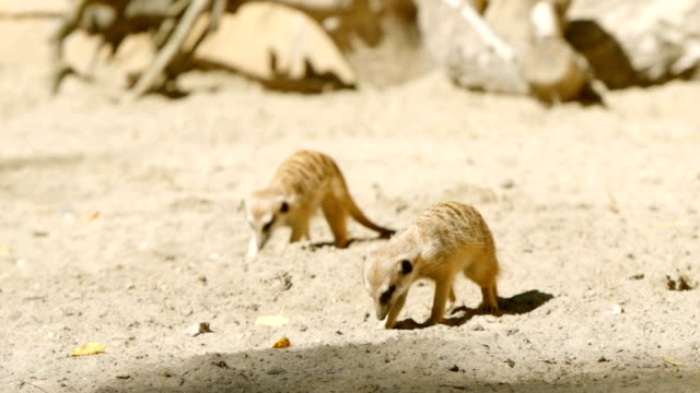 SLOW MOTION: Two meerkats dig in a sand video