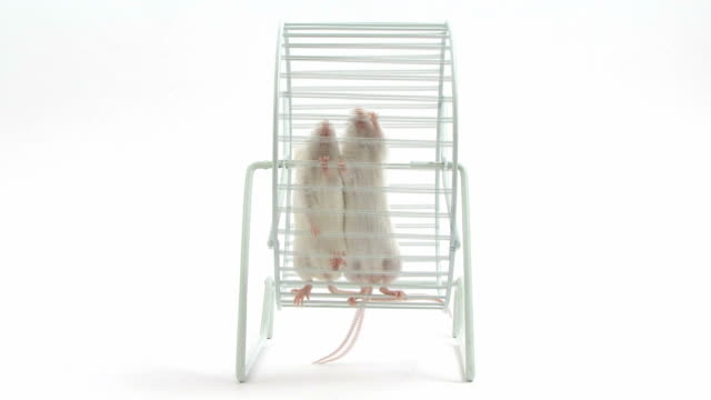 two mice running in a wheel video