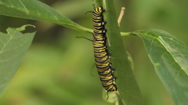 Two Monarch butterfly caterpillar hanging on a leaf, eating. video