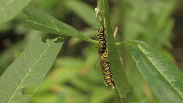 Two Monarch butterfly caterpillars hanging on a leaf, video