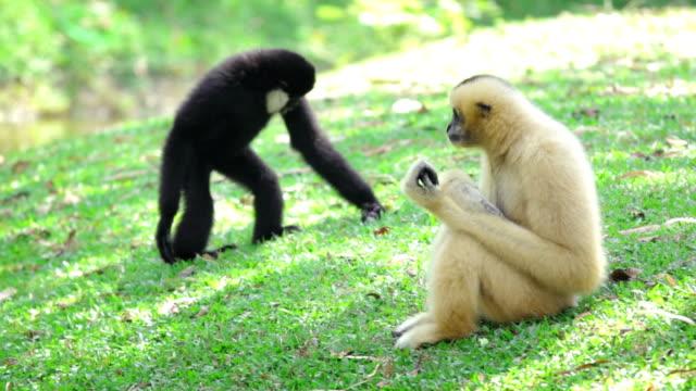 two monkeys sitting in the grass - gibbon människoapa bildbanksvideor och videomaterial från bakom kulisserna