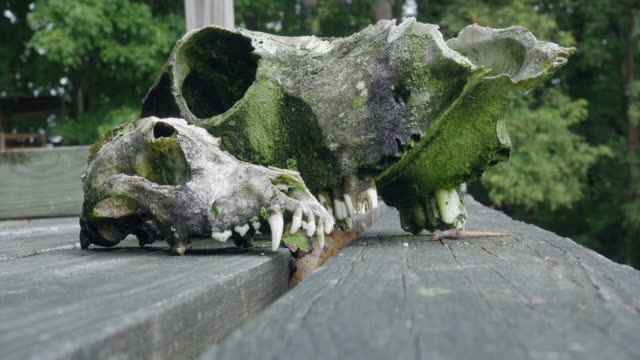 Two Mossy Animal Skulls Sit on a Wooden Porch video
