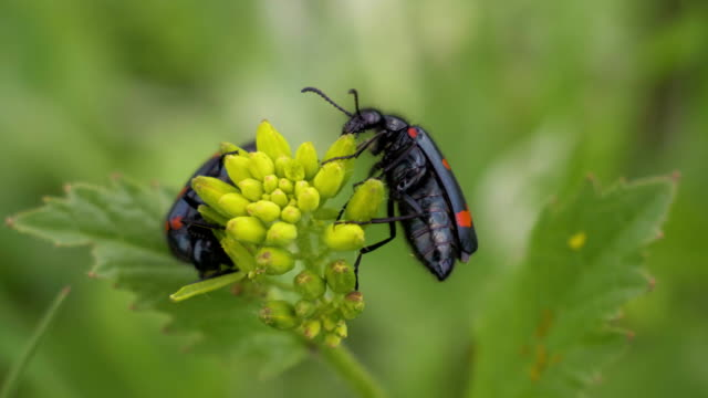 two mylabris beetles eat yellow flowers - жук стоковые видео и кадры b-roll