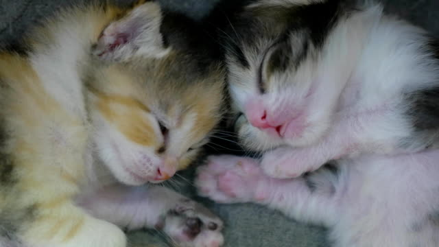 two newborn kittens are sleeping cute. newborn kittens from the cat concept lifestyle two newborn kittens are sleeping cute. newborn kittens from cat concept lifestyle shorthair cat stock videos & royalty-free footage