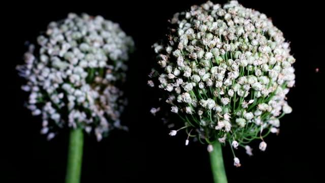 Two onion (Allium Cepa) flower at night