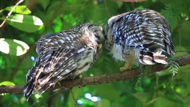 два owls выцветший голубой на филиала - уход за поверхностью тела у животных стоковые видео и кадры b-roll