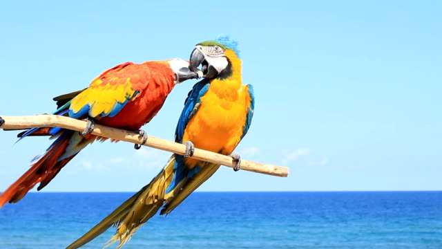 Two parrots - birds in love video