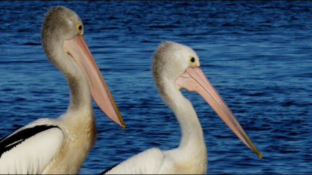 two pelicans video