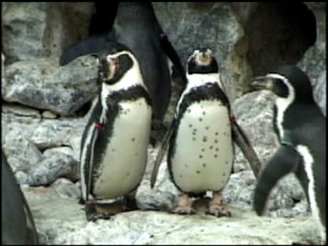 zwei penguins - aquarium oder zoo stock-videos und b-roll-filmmaterial