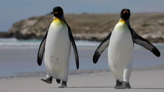 two penguins walking on the beach - pingwin filmów i materiałów b-roll