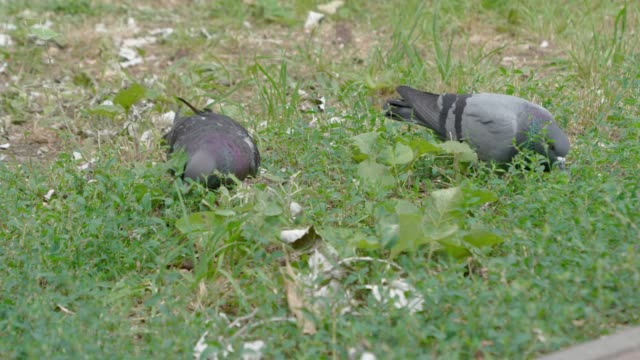two pigeons eat green juicy grass. - ornitologia video stock e b–roll