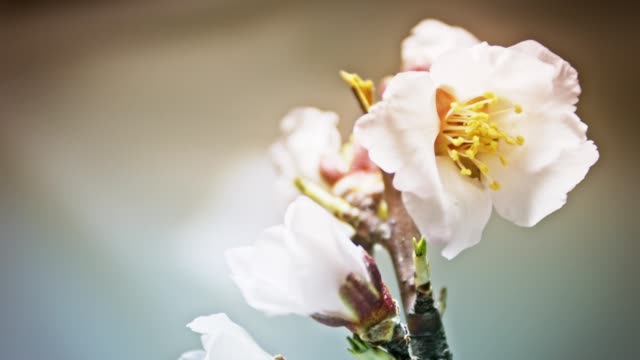 two pink almond flowers open on a light background - stame video stock e b–roll