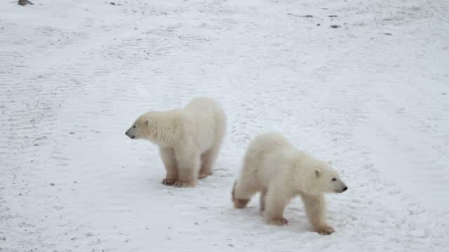 Two polar bear cubs walk