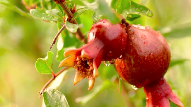 vídeos de stock e filmes b-roll de two pomegranate fruits on branch after rain with drops of water on - romã