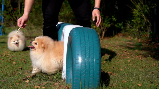 slo - mo two pomeranian dogs playing in playground - vivere semplicemente video stock e b–roll