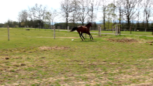 Two Quarter horse running together on green pasture meadow