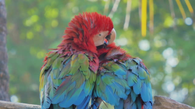 Two red parrot macaw video