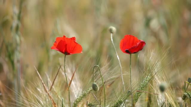 Two Red Poppies In Barley Field Swinging In Wind video