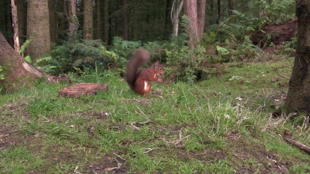 Two red squirrels in an area of Scottish woodland in south west Scotland video