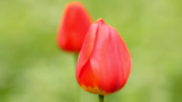 Two red tulips on wind - green background video