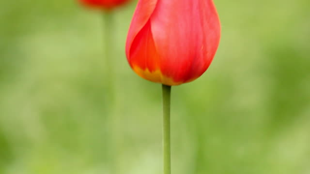 Two red tulips on wind - vertical panning video
