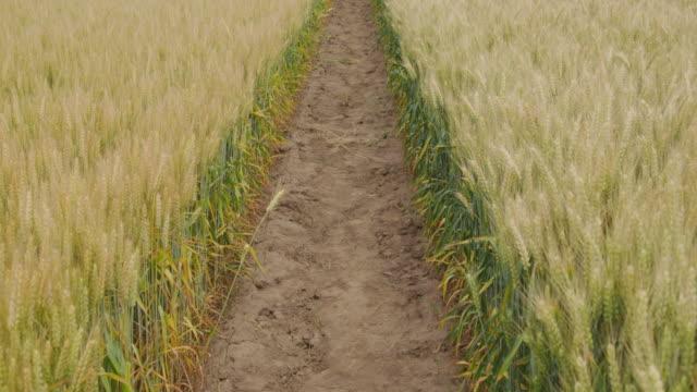 vidéos et rushes de deux rangées de blé se balançant dans le vent - couleur saturée