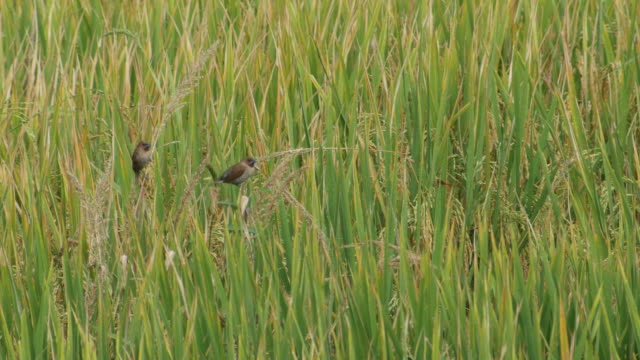 two Scaly-breasted Munia birds resting on the grass shoot video