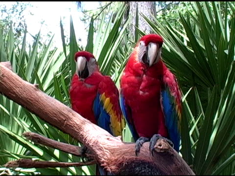 Two Scarlet Macaws video