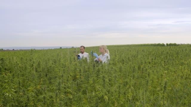 Two scientist observing CBD hemp plants on marijuana field and writing results in tablet
