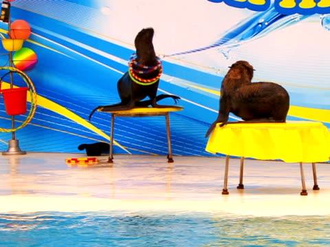 two seal - morrhår bildbanksvideor och videomaterial från bakom kulisserna