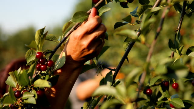Two Senior People Picking Cherries in the Orchard Two Senior People Picking Cherries in the Orchard cherry stock videos & royalty-free footage