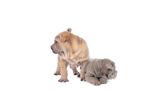 Two Shar pei puppies on a white background video