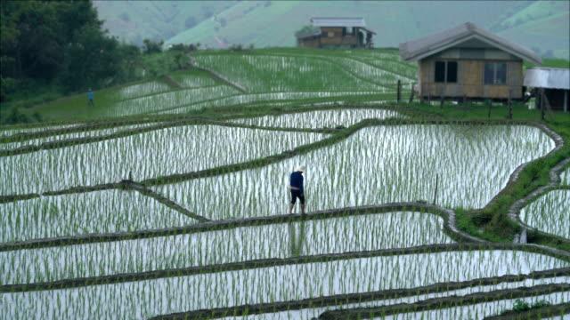 two shots of farmer walking in rice paddy filed while rainy - taras ryżowy filmów i materiałów b-roll