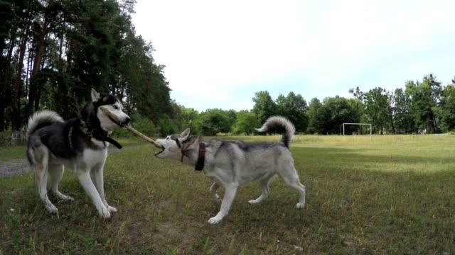 vídeos de stock e filmes b-roll de two siberian huskies are fighting for a stick. - puxar cabelos