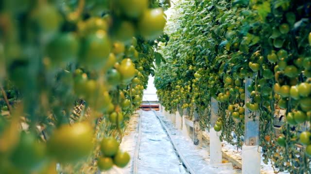 熟していないトマト柴の 2 つの側面、それらの間の通路 - 熟していない点の映像素材/bロール