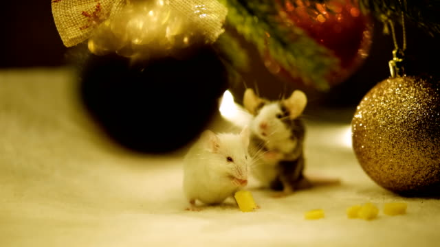 Video Two small mice eat cheese and wash. The year of the rat on the Eastern calendar.