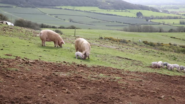 Two sow pigs and litter of piglets in a farm field video