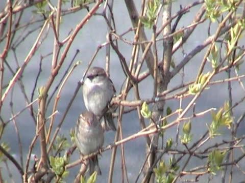due sparrows situato in una struttura ad albero all'inizio della primavera lilla - appollaiarsi video stock e b–roll