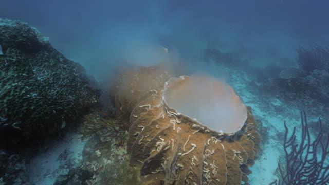 zwei laichen schwämme im korallenriff landschaft, indonesien - laichen stock-videos und b-roll-filmmaterial