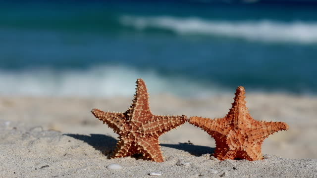 Two starfishes on caribbean sandy beach video