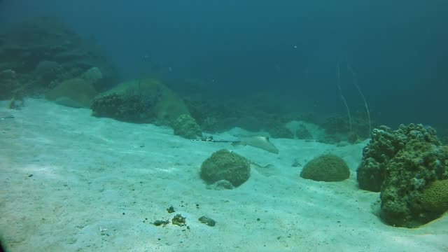 Two stingrays wants to hide from the camera Underwater footage of the marine life in the Indian Ocean Madagascar madagascar stock videos & royalty-free footage