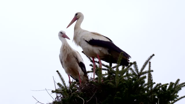Two storks in their nest on a treetop
