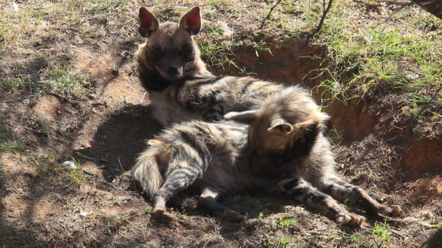 Two striped hyenas  resting in a shallow hole . video