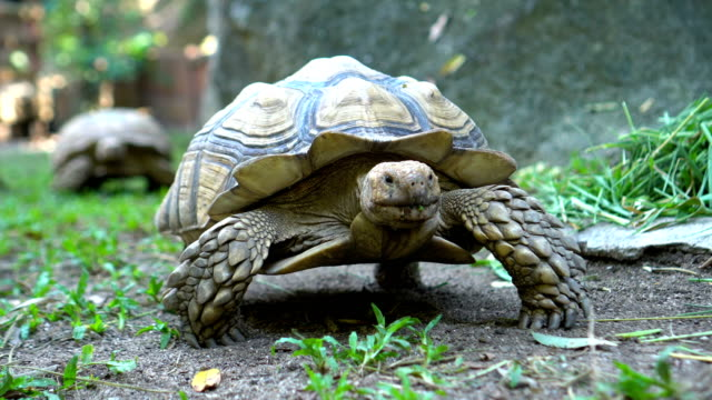 Two Sulcata Tortoises walking in Nature Two Sulcata Tortoises walking in Nature tortoise stock videos & royalty-free footage