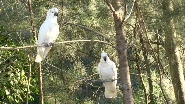 Two Sulphur-crested Cockatoos, Australia